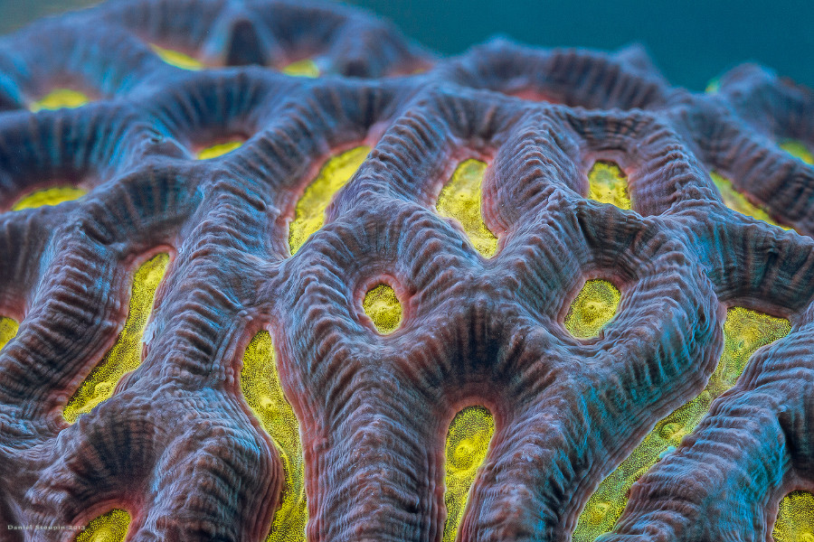 Yellow is a rare color among hard corals.