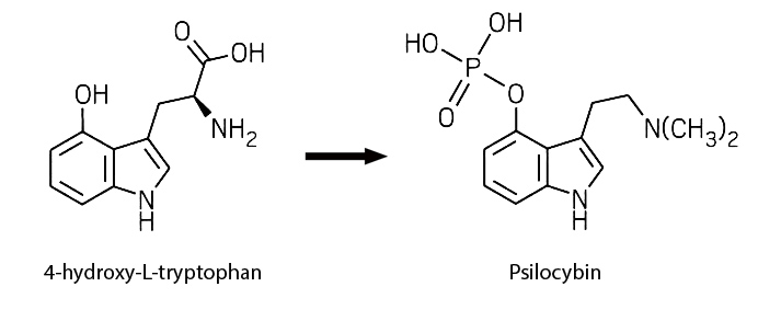 4-htp to psilocybin synthesis