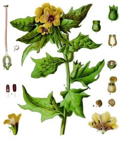 Botanical drawing of Black Henbane, Hyoscyamus niger, from 1896