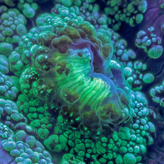 Mind-bending fluorescent coral reef photography